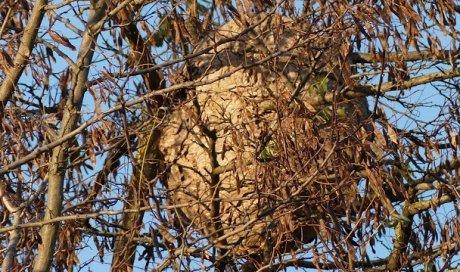 Entreprise de désinsectisation de frelons asiatiques Marne-La-Vallée